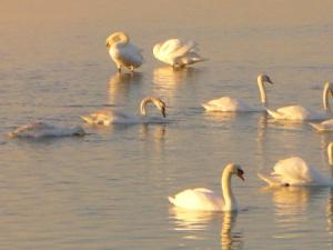 Gruppo di cigni al largo di Porto Falconera, Caorle