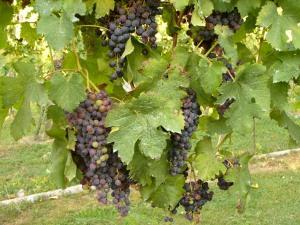 Tralci con grappoli d'uva